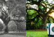 1971 TBT vs. 2013 version of tree in roundabout