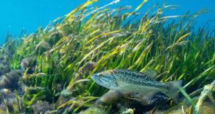 Fish swimming in eelgrass