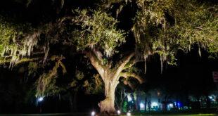 JU's centennial oak on campus
